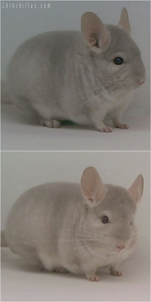 2001 Top Show Quality Homo Beige Male Chinchilla