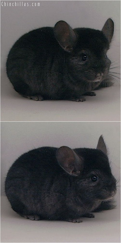 2041 Ebony Male Chinchilla