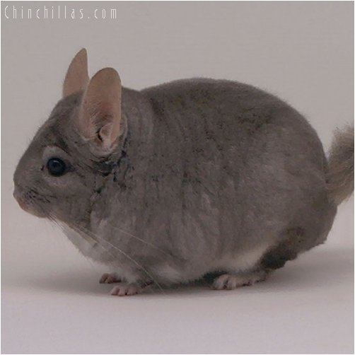 1938 Proven Show Beige Female Chinchilla