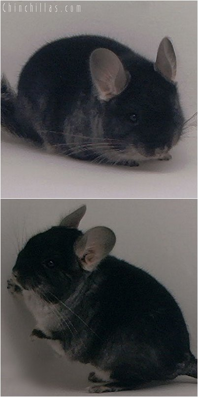2057 Black Velvet Male Chinchilla