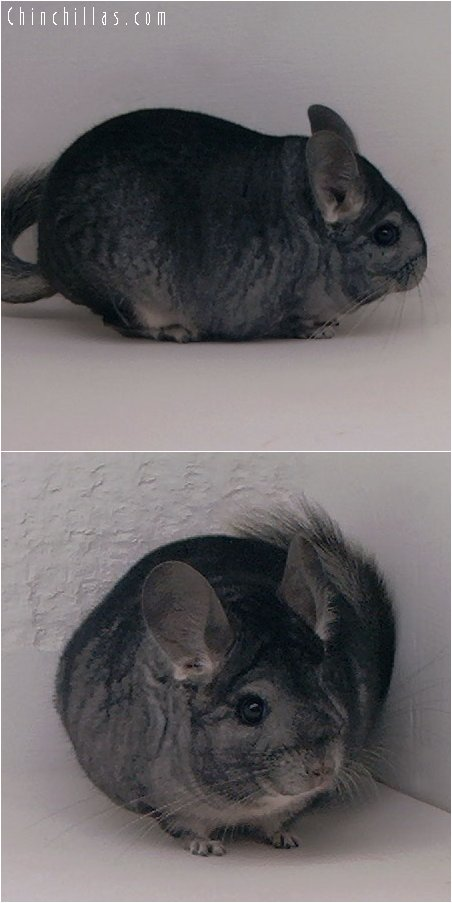 2049 Show Quality Standard Female Chinchilla