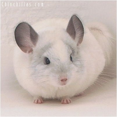 2042 Predominantly White Female Chinchilla