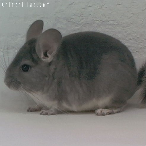 1930 Violet Male Chinchilla