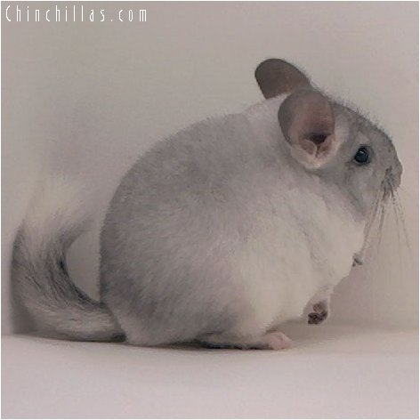 3002 Silver Mosaic Female Chinchilla