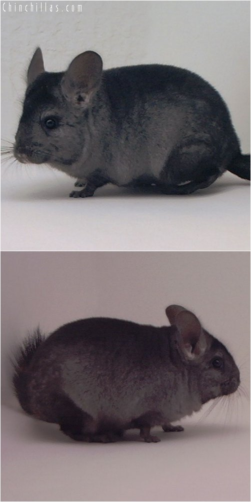 3000 Ebony ( Violet Carrier ) Female Chinchilla