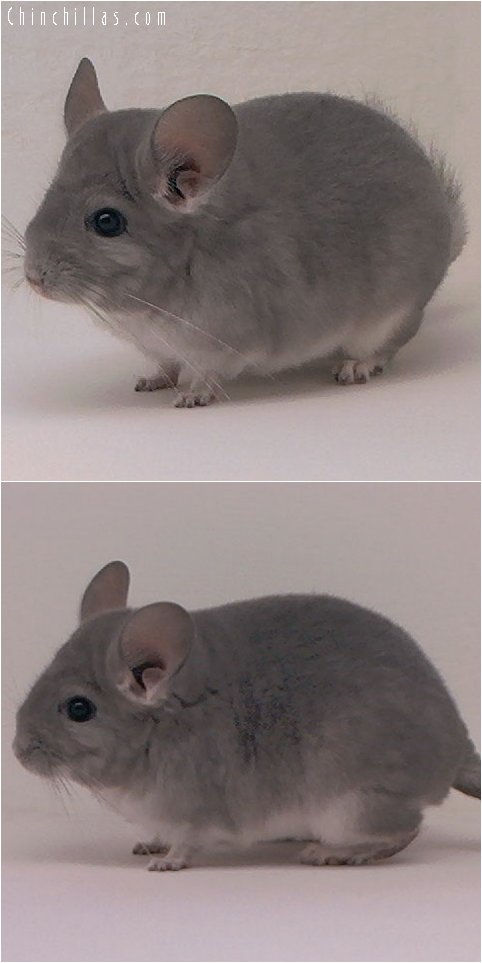 2098 Violet Female Chinchilla