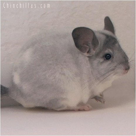 2082 Ritterspach / Somavia Mosaic Female Chinchilla