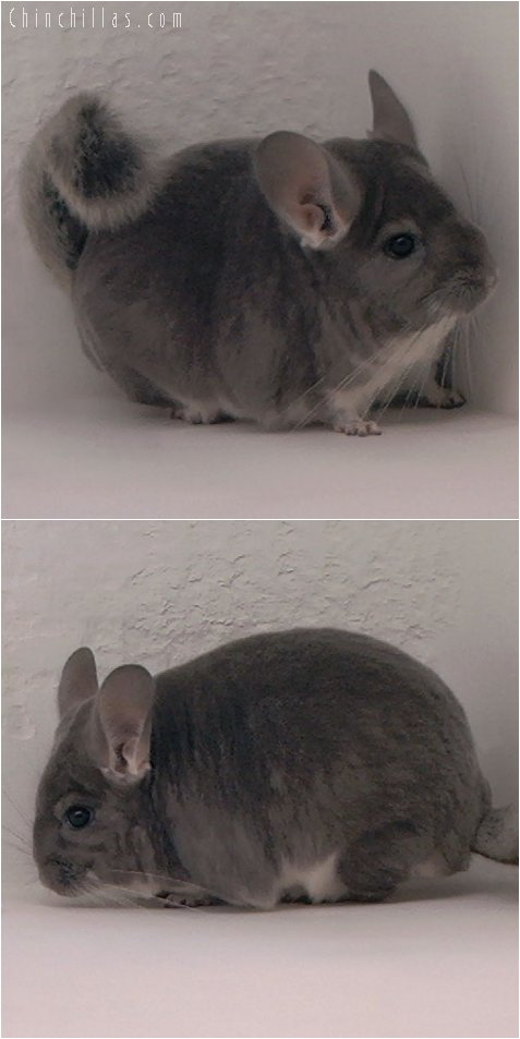 3003 Violet Female Chinchilla