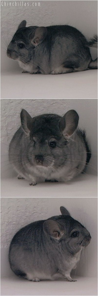 3011 Premium Production Quality Standard Female Chinchilla