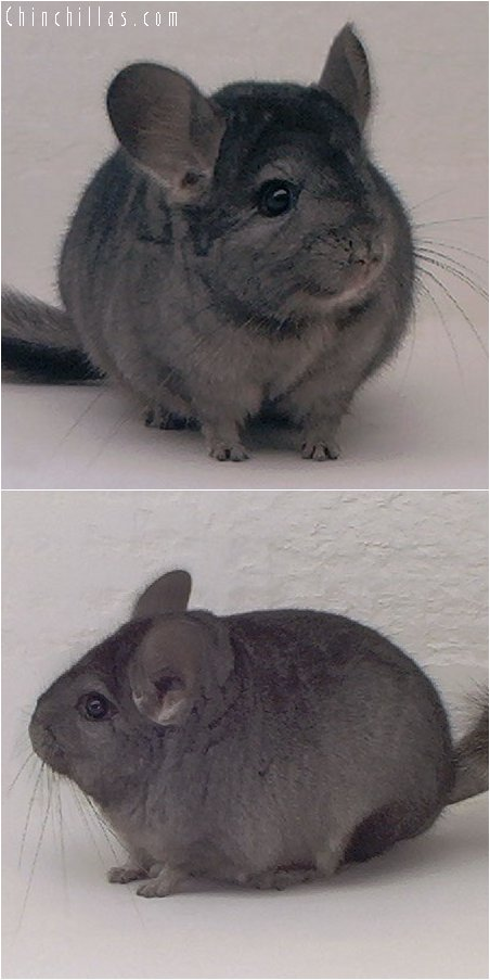 3005 Light Hetero Ebony Female Chinchilla