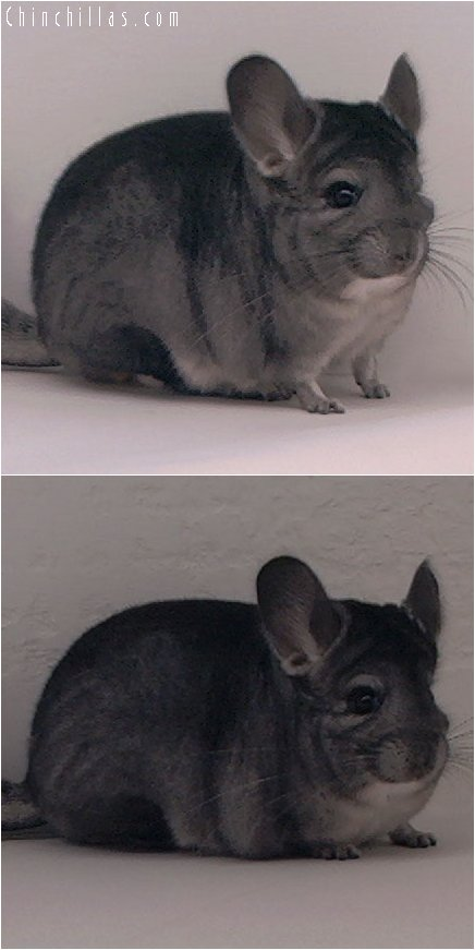 3007 Top Show Quality Standard ( Ebony Carrier ) Female Chinchilla