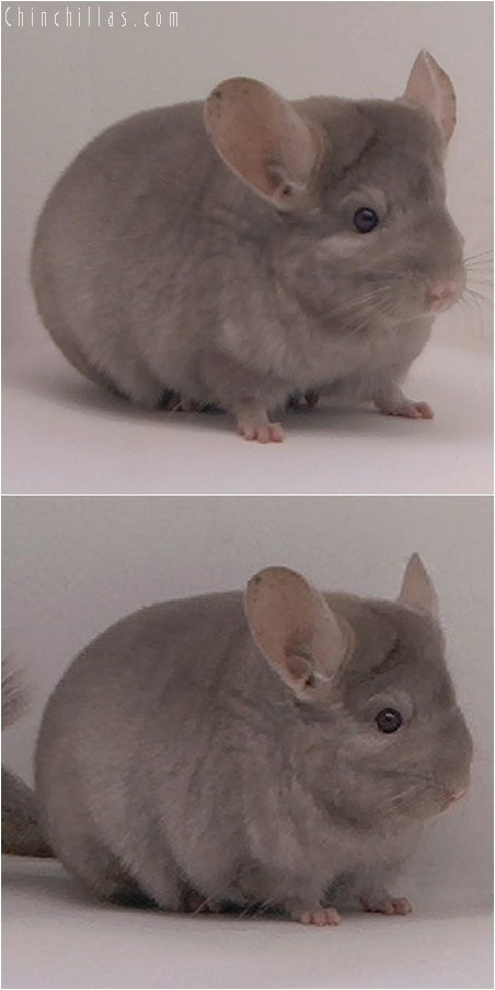2099 Show Quality Tan Female Chinchilla