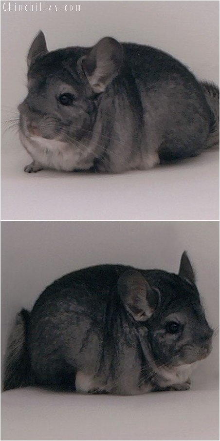 2091 Show Quality Standard Female Chinchilla