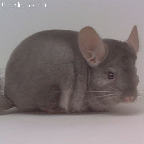 1925 Light Tan / Beige ( Ebony Carrier ) Male Chinchilla