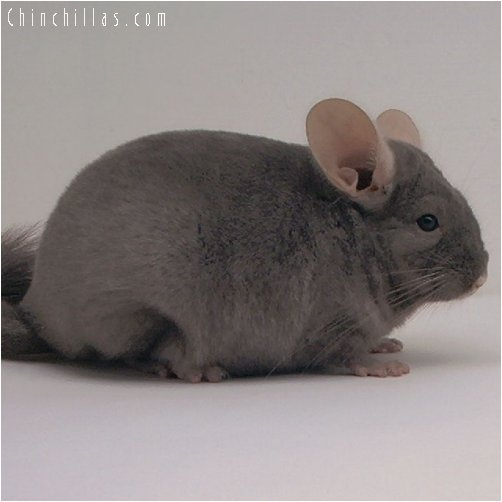3009 Dark Tan Female Chinchilla