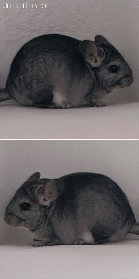 3006 Standard ( Violet Carrier ) Female Chinchilla