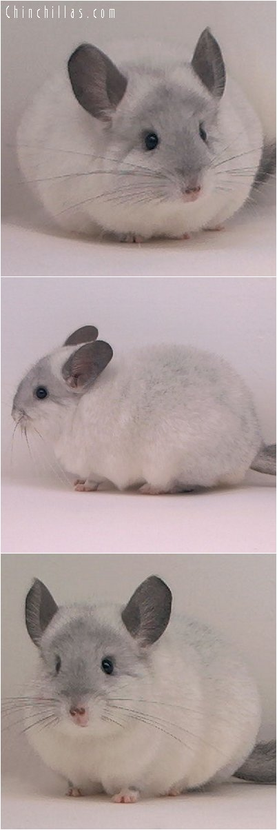 2092 Premium Quality White Male Chinchilla
