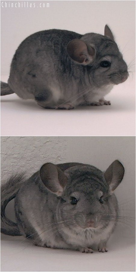3008 Standard ( Violet Carrier ) Female Chinchilla