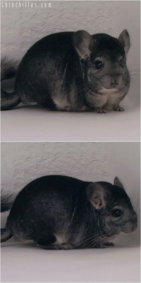 3012 Top Show Quality Standard Male Chinchilla