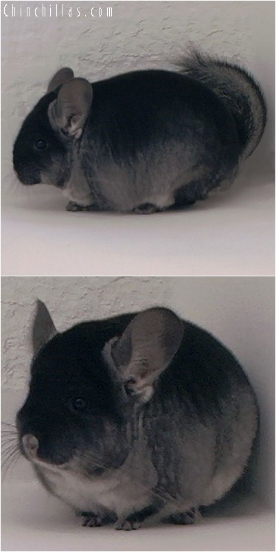 3030 Top Show Quality Black Velvet ( Ebony Carrier ) Male Chinchilla