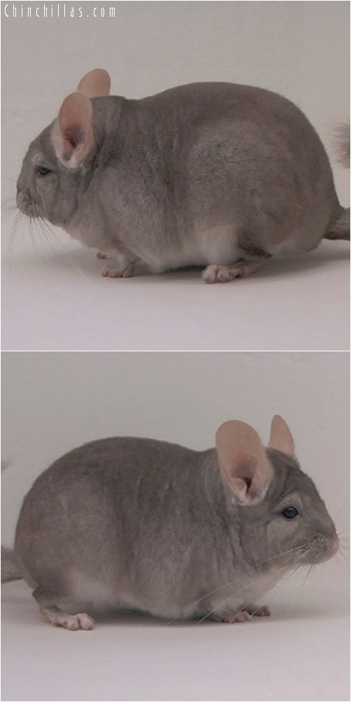 3037 Show Quality Beige ( Violet Carrier ) Female Chinchilla