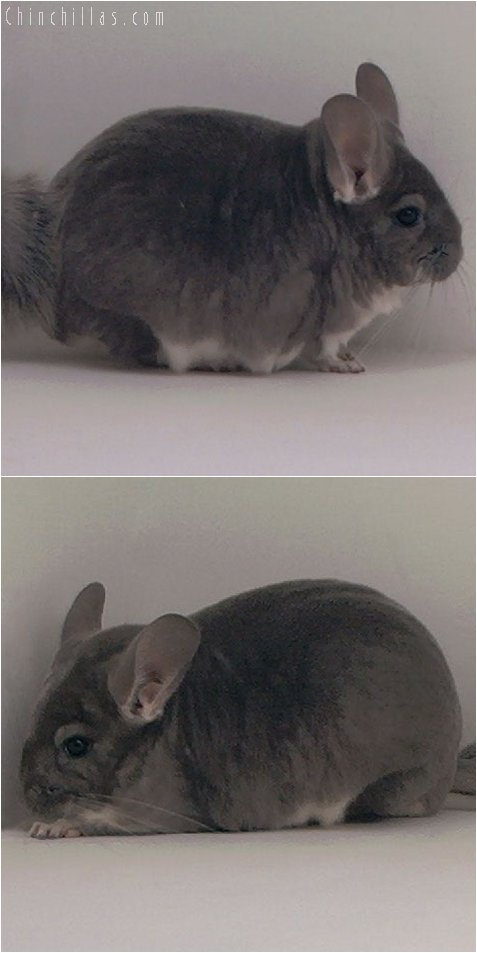 3031 Top Show Quality Violet Female Chinchilla
