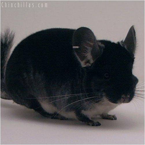 3044 Showable Quality Black Velvet Male Chinchilla