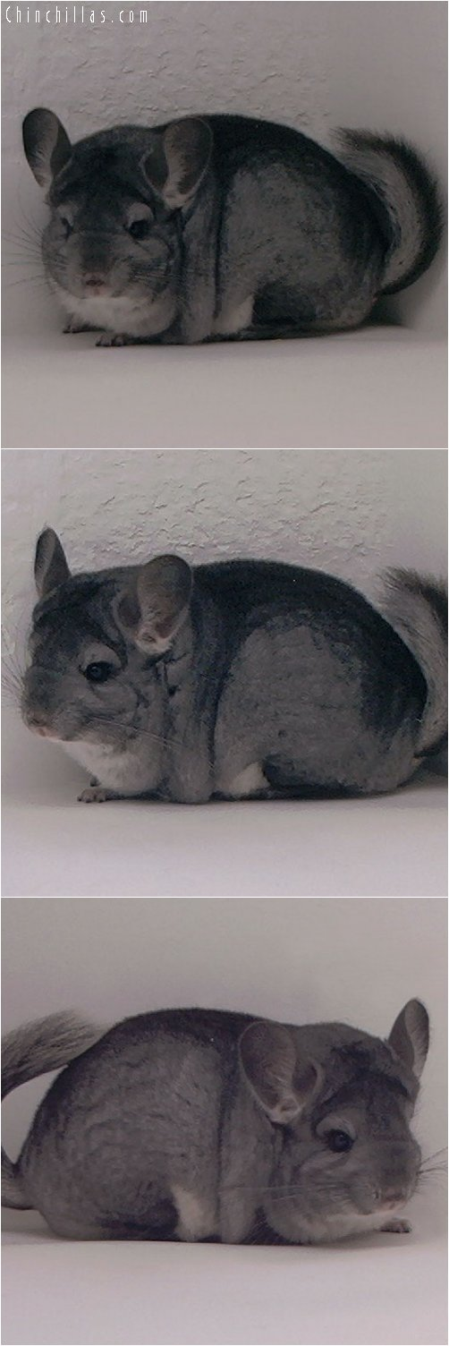 3019 Premium Production Quality Standard Female Chinchilla