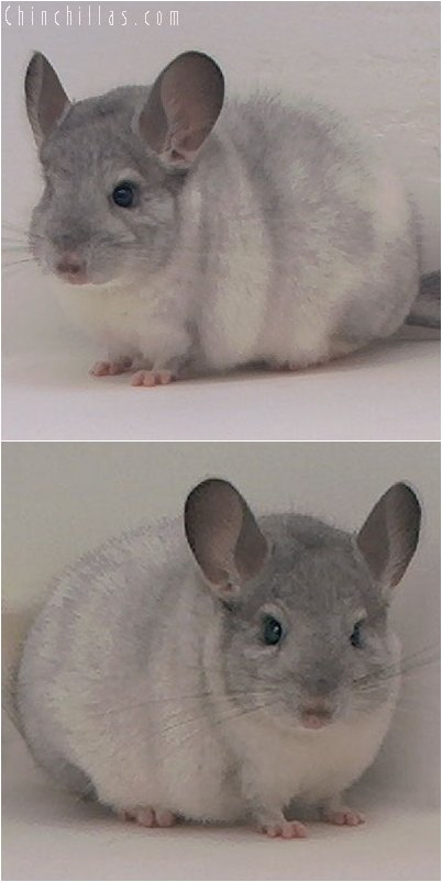 3049 Top Show Quality White Mosaic Male Chinchilla