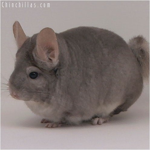 3038 Top Show Quality Beige Female Chinchilla