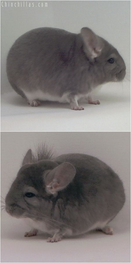 3032 Show Quality Violet Male Chinchilla