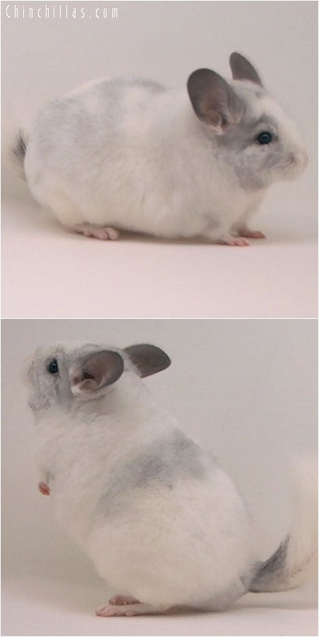 2093 White Mosaic Female Chinchilla