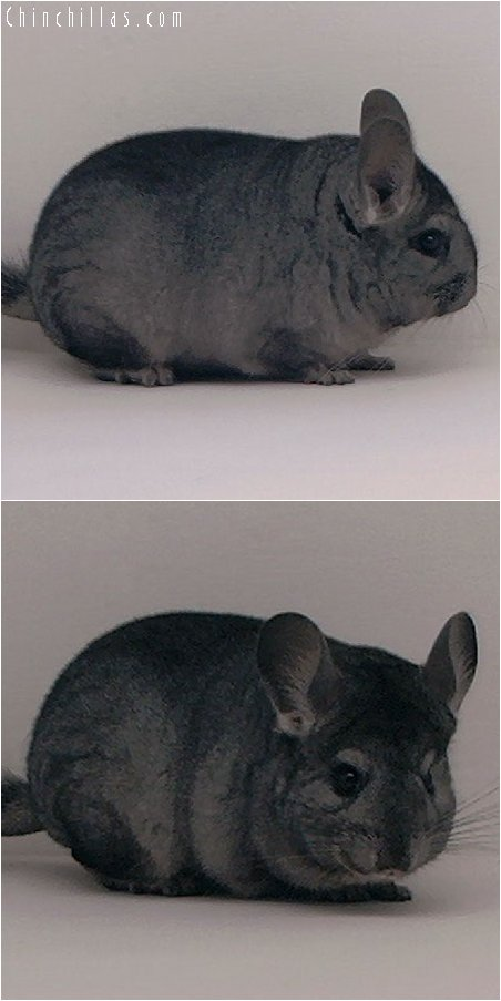 3024 Premium Production Quality Ebony Female Chinchilla