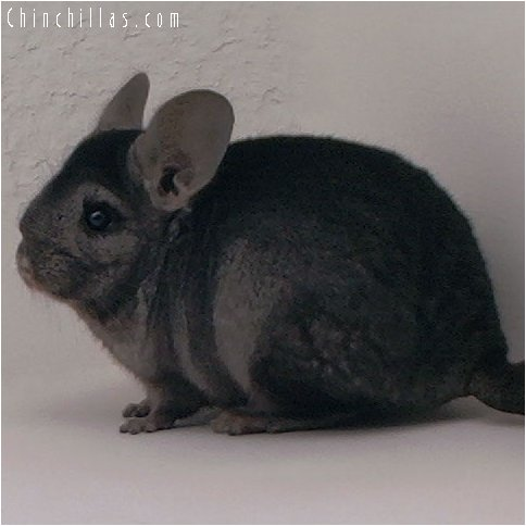 3014 Ebony Female Chinchilla