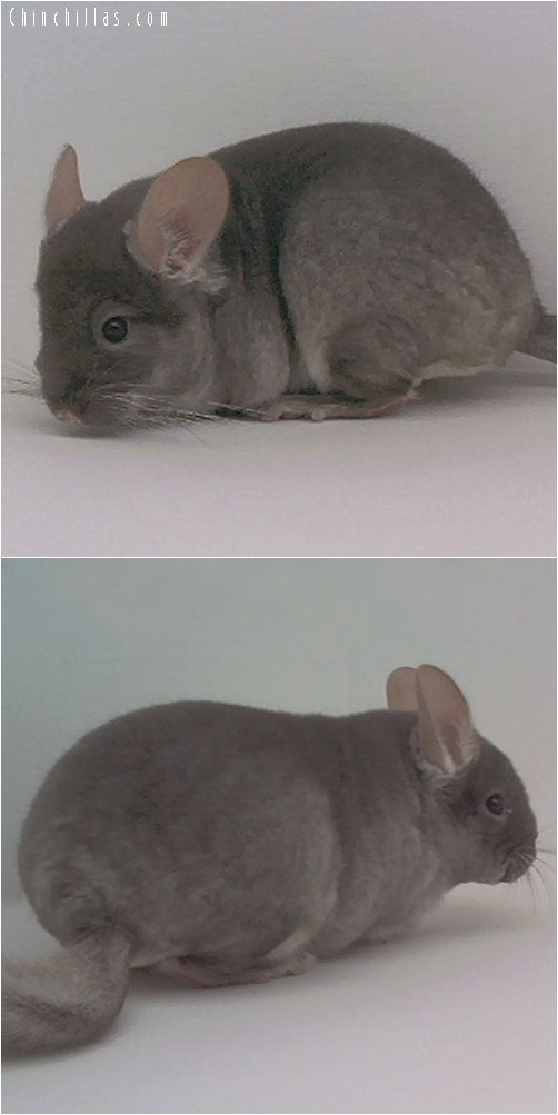 2011 TOV Beige / Brown Velvet Male Chinchilla