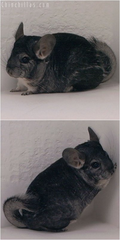 3013 Show Quality Standard Female Chinchilla
