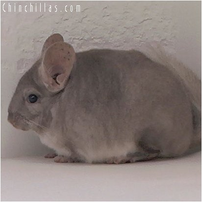 3041 Show Quality Beige Female Chinchilla