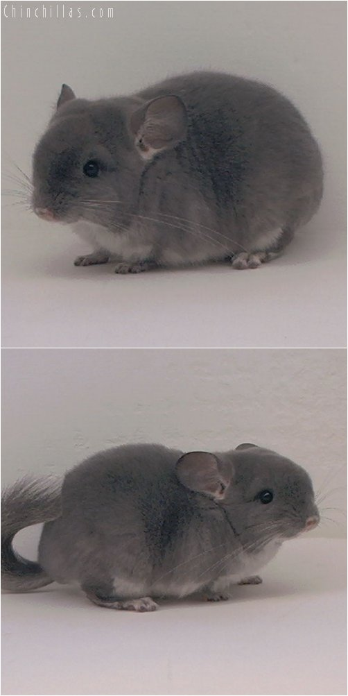 3080 TOV Violet Female Chinchilla