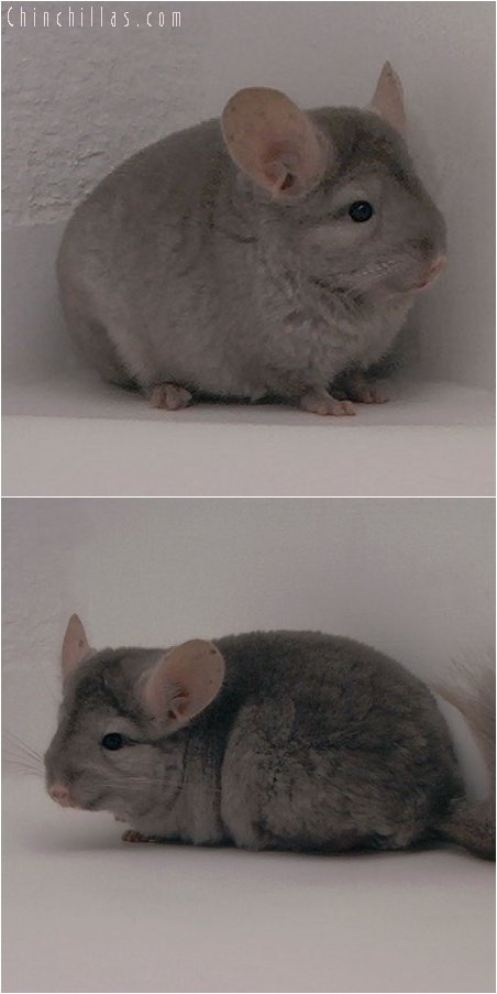 3069 Medium Tan Female Chinchilla
