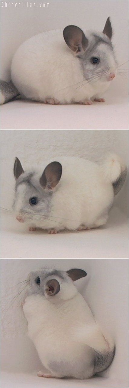 3077 Show Quality Unusual Mosaic Female Chinchilla