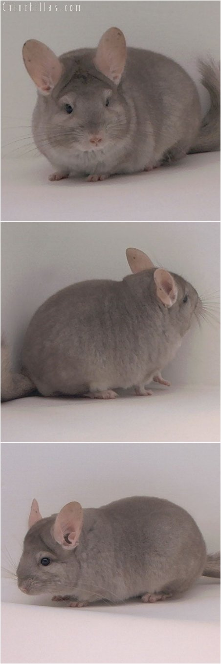 3067 Show Quality Beige Female Chinchilla
