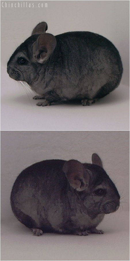 3066 Showable Hetero Ebony Female Chinchilla