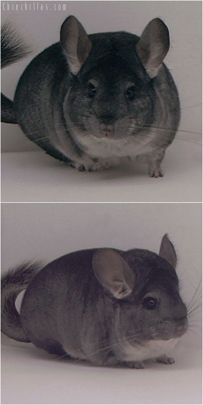 3057 Show Quality Standard Female Chinchilla