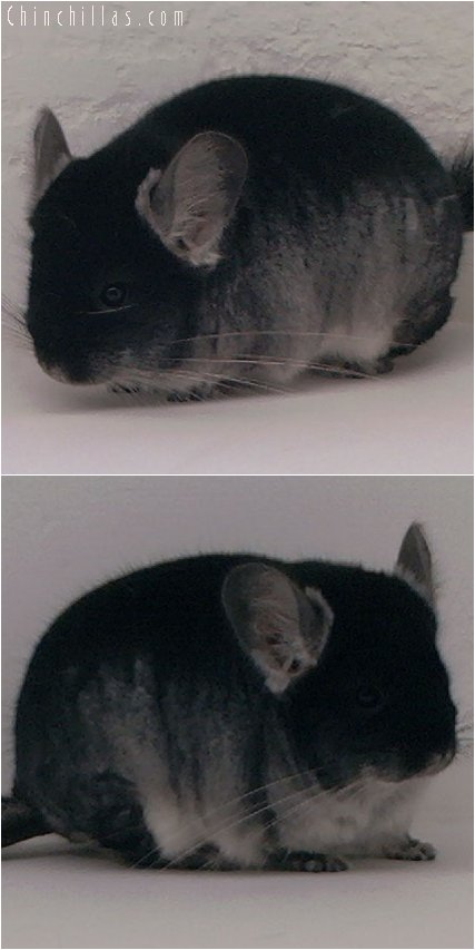 3033 Show Quality Black Velvet Female Chinchilla