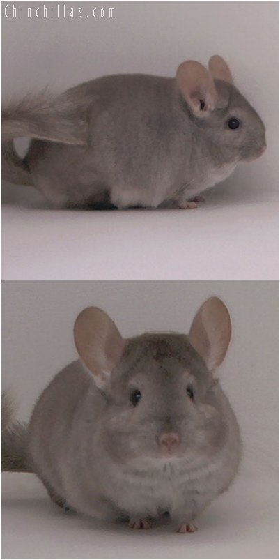 2096 Beige Female Chinchilla