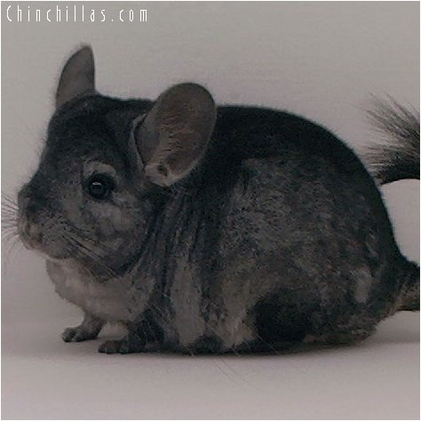 3034 Show Quality Hetero Ebony Male Chinchilla