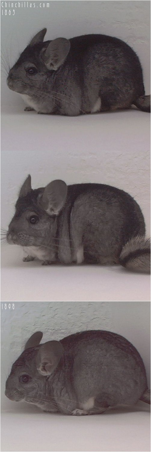 Lot 50 Two Show Quality Standard Females Chinchilla