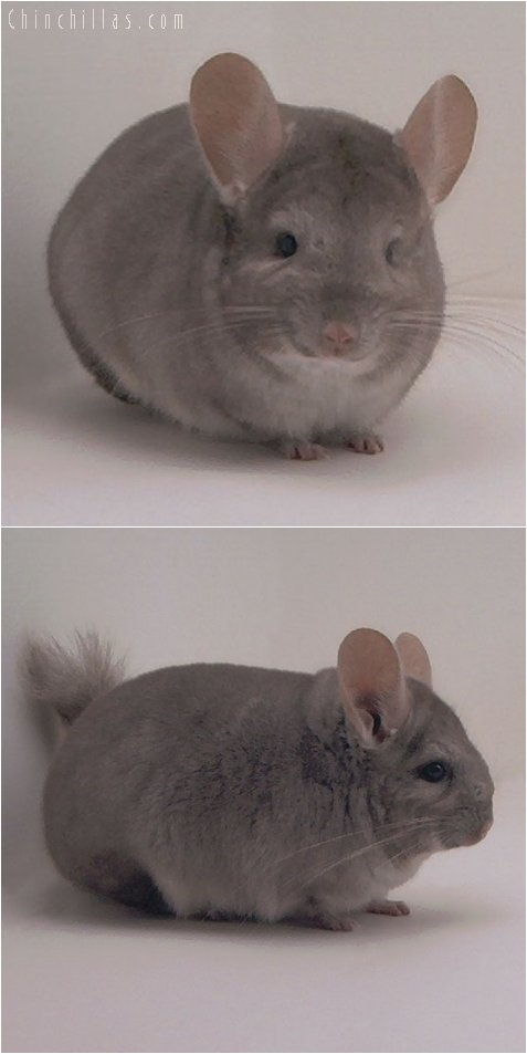 3060 Show Quality Beige Female Chinchilla