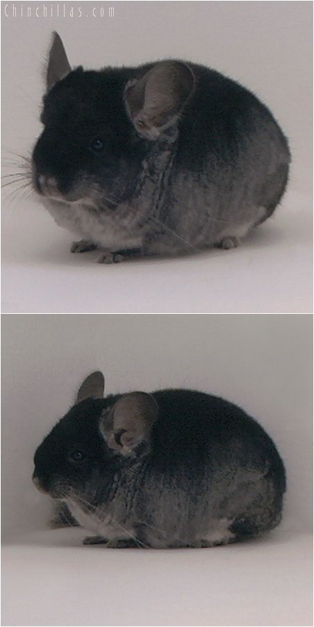 3079 Show Quality Black Velvet Female Chinchilla
