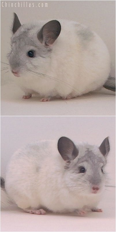 3048 Top Show Quality White Mosaic Male Chinchilla